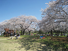 篠崎公園/桜の広場