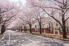 分譲地に隣接した桜のアーケード(並木道)