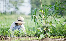 家庭菜園で野菜...